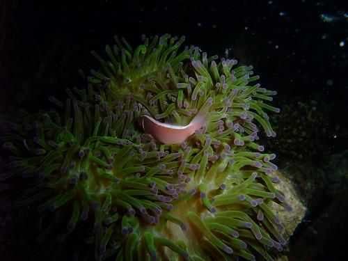 anemone - night