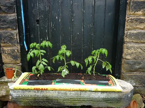 100605 - tomatoes