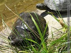 sumpfschildkröten-schönbrunn
