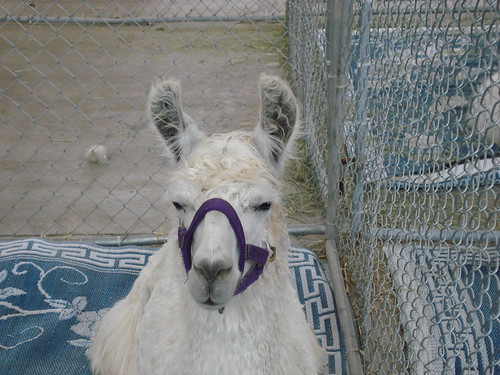 Illamas at the Fair