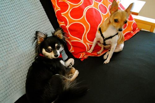 [127/365] Guest Chihuahuas
