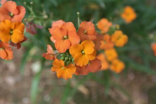 Orange Wall Flower