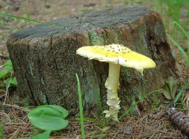 Older mushroom