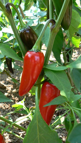 hungarian peppers