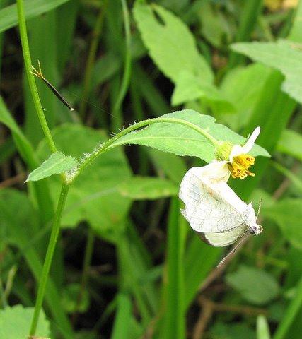 Butterfly drama 2 160707 Ranganathittu area