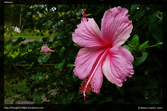 Hibiscus-Flower