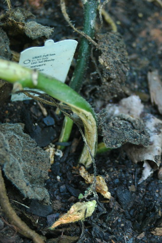 Damage from Squash Vine Borers