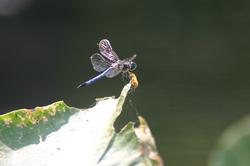 Paddling Perquiman County Blueway - Dragonfly From Side