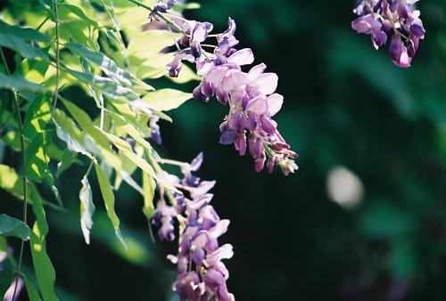 polonezkoy, istanbul, flower