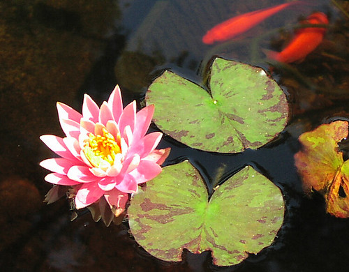 9 June - first water lily of the year