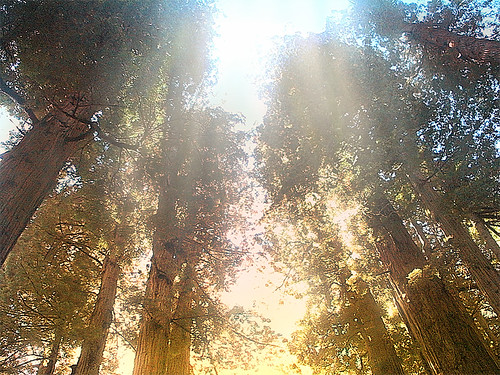 Redwoods in contemplation - courtesy of controltheweb under a Creative Commons License