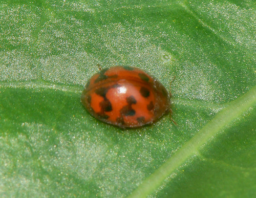 24-spot ladybird (Subcoccinella 24-punctata)