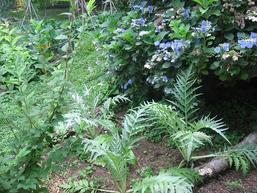cardoon bed 07 08 07