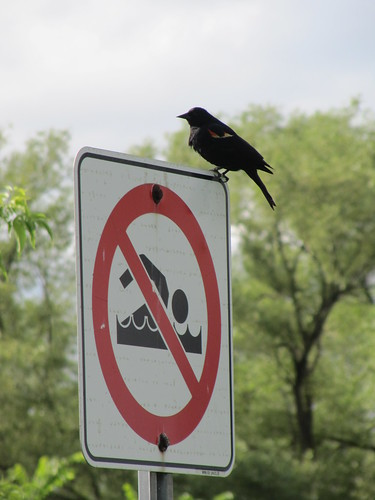 Red Winged Blackbird on Red/Black Sign