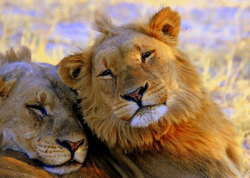 YOUNG MALE LIONS IN BOTSWANA