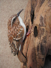 Brown Creeper - by Brad Wiley