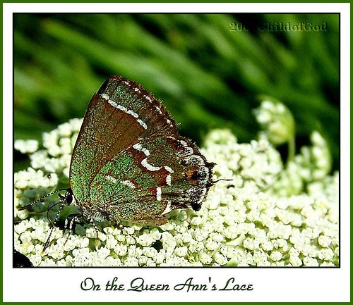 On Queen Ann's Lace