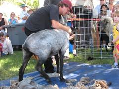 2007Jul28_SheepShearing12