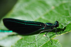 Ebony Jewelwing - the Gentleman