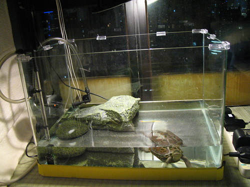 small setup of a diamondback terrapin