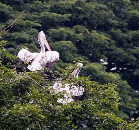spot billed pelican on tree 070907 lalbagh