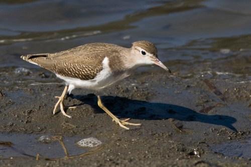 Spotted Sandpiper bird (Actitis macularia)  sp...
