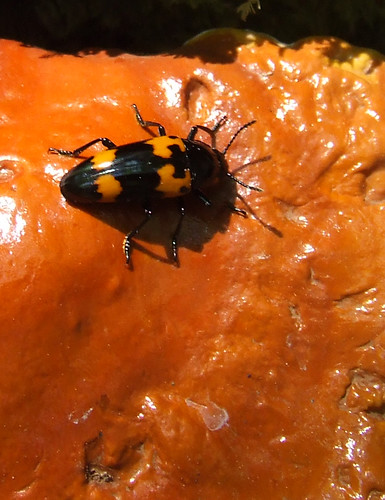 fungus beetle on varnish shelf