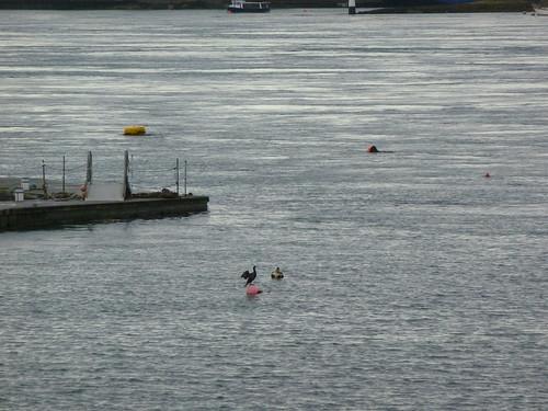 Bird balancing on buoy near Portaferry on Strangford Lough