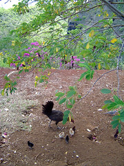Chickens at Opaeka'a Falls Lookout