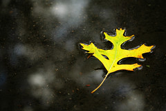 Golden Leaf 2