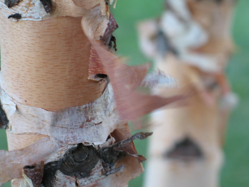 Skin Of A River Birch, Minneapolis, Minnesota, August 2007,photo © 2007 by QuoinMonkey. All rights reserved.