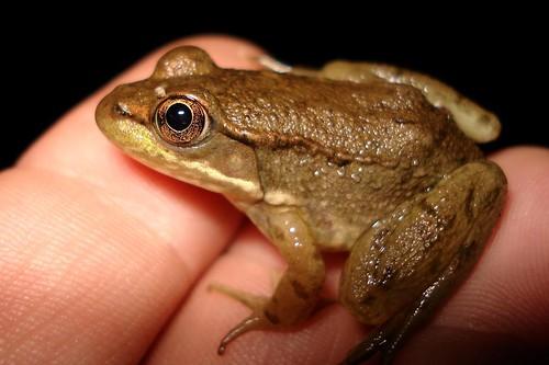 maybe woodfrog