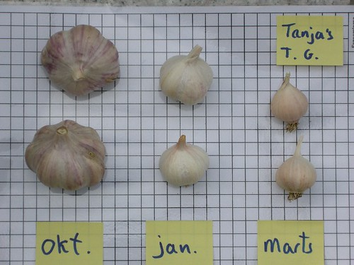 When to set garlic?