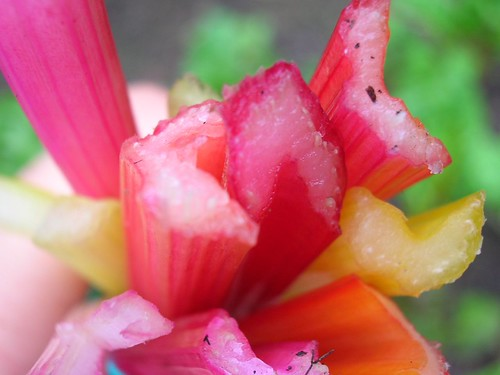 Rainbow Swiss Chard stems just after harvesting