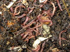 a mass of wiggly worms
