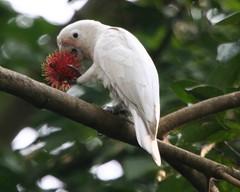 Tanimbar Cockatoo (Cacatua goffiniana) with ra...