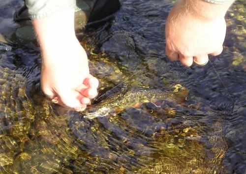 Brookie in Water