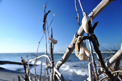 Shells in a Tree at Stump Pass Beach State Park, Fla., Nov. 6, 2010