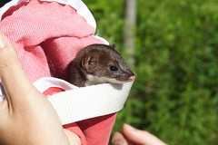 Ferret (or weasel?)  in Pouch