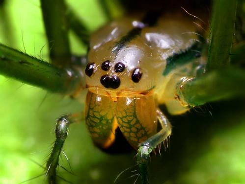 Orchard Spider Face - (Leucauge venusta)
