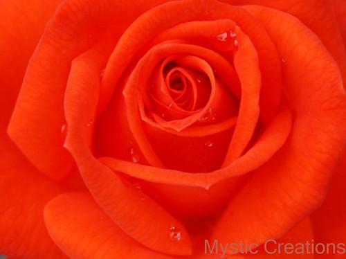 orangerosewm