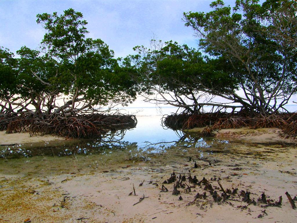 Mangles en Cayo Jut�as, Pinar del R�o