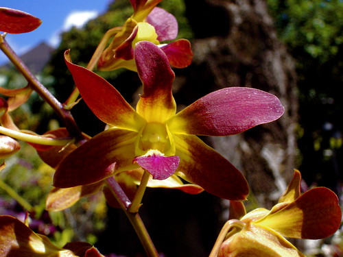 Orchid: even nature loves maroon and gold ;-P