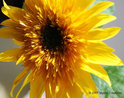 sunflowerwm