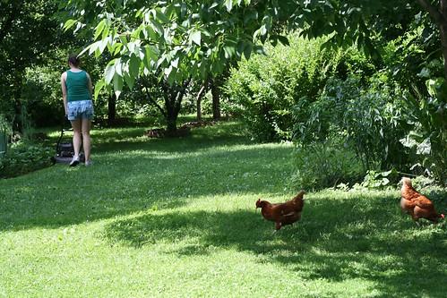 Chickens unafraid of the lawn mower