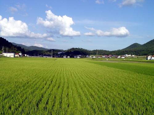 Amamaren landa arroza landatzeko