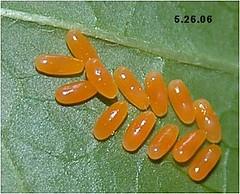 Milkweed Beetle Eggs