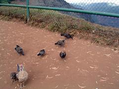 Waimea Canyon chickens