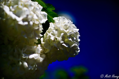 fluffy cotton flowers by Matt Hovey