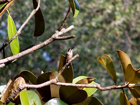 Hummingbird Magnolia